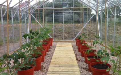 схема посадки помидор в