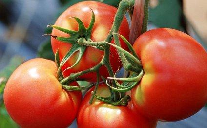Богатый урожай помидор или как