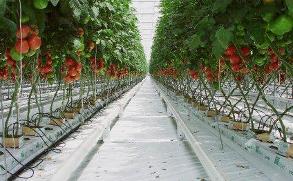 Как посадить помидоры на