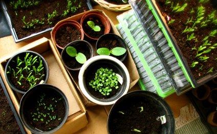 Выращивание рассады в домашних