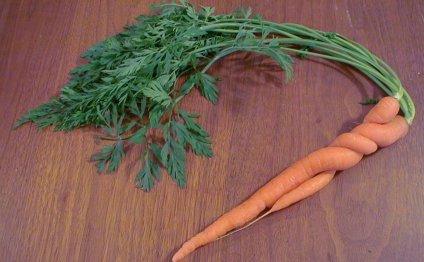 Как правильно сажать морковь?