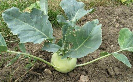 Как выращивать капусту