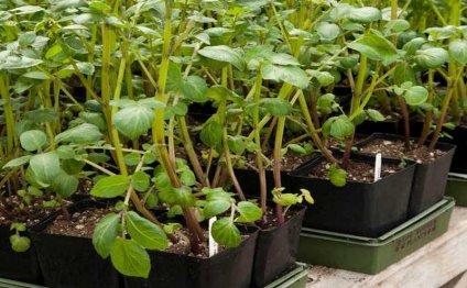 Как вырастить картофель из