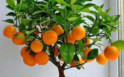 Как вырастить мандарин из