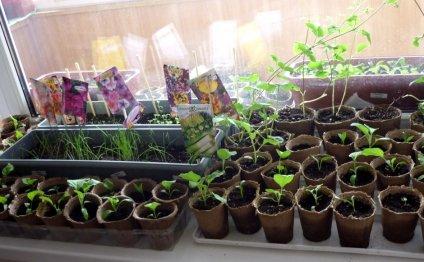 сеять рассаду выращивание