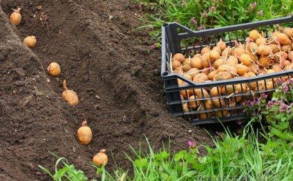 Картофель – посадка и уход в