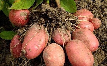 Когда сажать картошку в