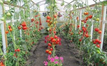 когда высаживать помидоры в