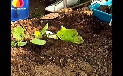 Как правильно высадить рассаду