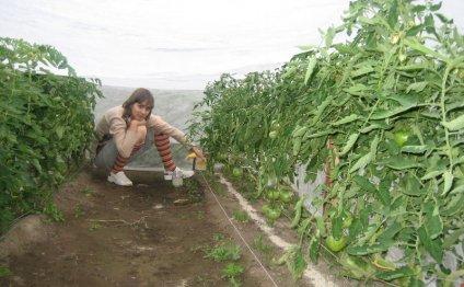 Подкормка помидоров древесной