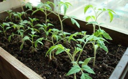 помидоры выращивание рассады