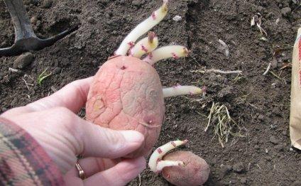 посадка картофеля - Самое