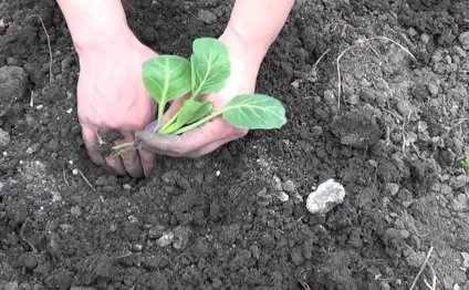 Посадка рассады капусты в