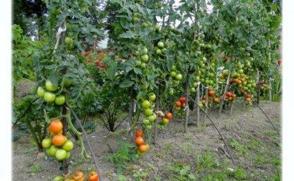 Посадка томатов в теплицу и в