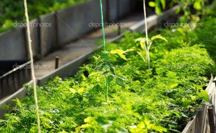 Сеянцы томата в парнике