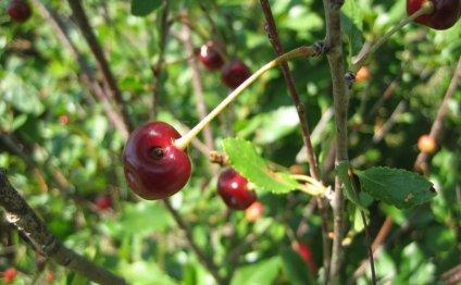 Борьба с вредителями вишни