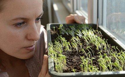 Сажаем огурцы: сеем сразу в