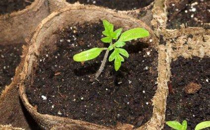 Многие садоводы рассаду