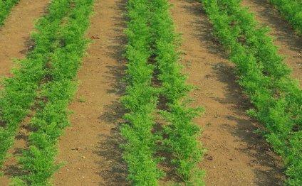 Морковь сажают рядами