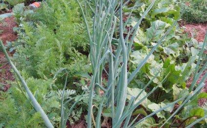 Смешанное выращивание зелени