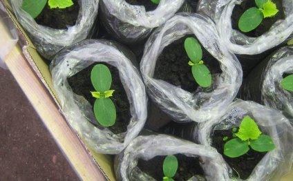 За рассадой огурцов нужно