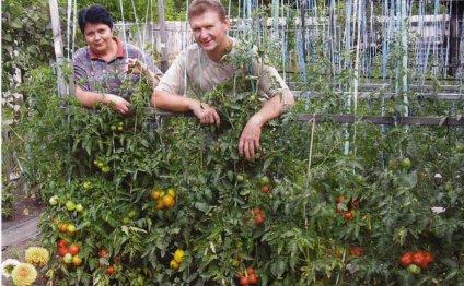 Томат — овощной аристократ