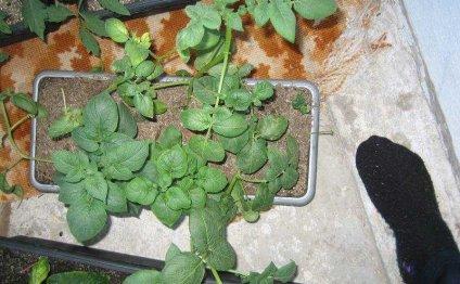 Выращиваем картошку рассадой!