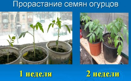 Прорастание семян огурцов для