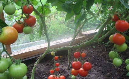 Выращивание помидоров в