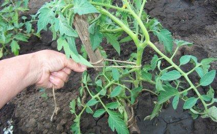 Огород: Выращивание помидоров