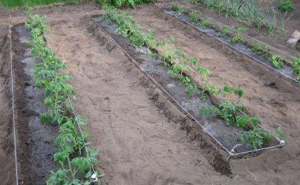 высаживаем помидоры прямо в